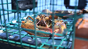 lobster market warming oceans push lobster from connecticut into