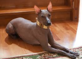 what is the dog show on thanksgiving best 20 mexican hairless dog ideas on pinterest hairless dog
