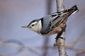 New York birds images Birds of new york nuthatches and creepers jpg