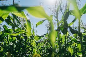 sunlight l for plants sunlight grow stock photos offset