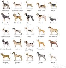 afghan hound group afghan hound pictures posters news and videos on your pursuit