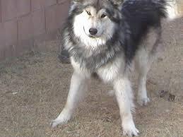 belgian shepherd x alaskan malamute alaskan malamute wolf 20 cool hd wallpaper dogbreedswallpapers com