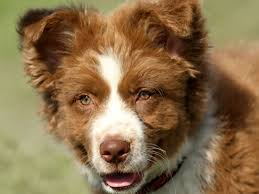 is an australian shepherd smart the 25 best red australian shepherd ideas on pinterest mini