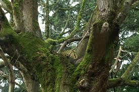 washington tree care moss westcoast tree care