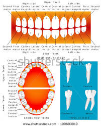 Human Dental Anatomy Human Dental Anatomy Permanent Tooth Stock Vector 507017917