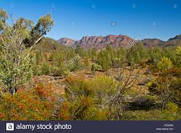 Rugged Landscape Rugged Landscape Of Flinders Ranges With Pine Trees Wildflowers