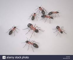 group of ants on white background swarm of insects is a pests