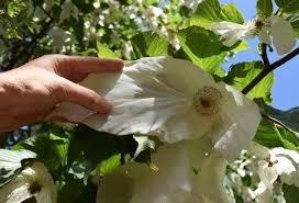 dove tree davidia the world s best gardening