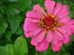 Zinnia Flower Growing Zinnias Thriftyfun