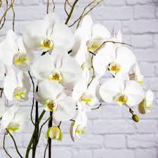 peacefully sacred white orchids garden party flowers vancouver