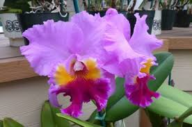cattleya orchids growing orchids cattleya container gardening flower gardening