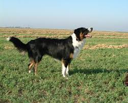australian shepherd in spanish english shepherd wikipedia