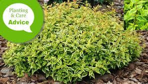 Fertilizer For Flowering Shrubs - how to plant prune fertilize u0026 water abelia shrubs wilson bros