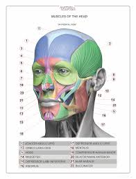 Photos Of Human Anatomy Anatomia Da Face övningar Pinterest Anatomy Muscles And