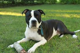 american pitbull terrier white with black spots what they don u0027t tell you about owning a pit bull or four of