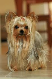 pictures of yorkie haircuts 20 adorable yorkie haircuts yorkie hair styles to try right now
