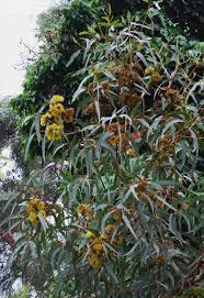 plantfiles pictures eucalyptus species illyarrie cap gum
