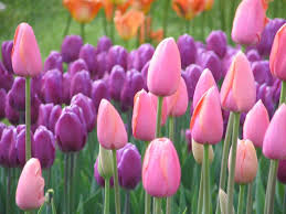 tulip the national flower of afghanistan