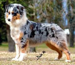 cut n loose australian shepherds pastore australiano animals pinterest australian shepherd