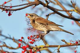 wildlife photographic journals winter fieldfare