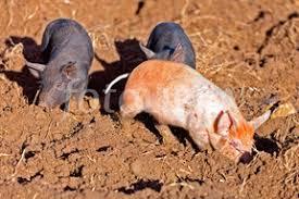 images u0027head gloucester spot pig u0027 showing 1