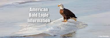 bald eagle facts sheet american bald eagle information