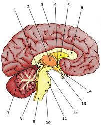 Anatomy And Physiology Labeling Free Anatomy Quiz Anatomy Of The Brain Quiz 1