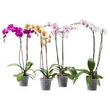 orchid plants phalaenopsis potted plant ikea