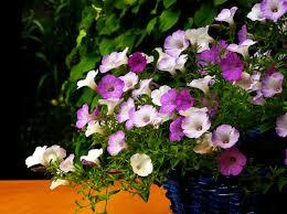 topfpflanzen balkon kostenlose foto natur blühen blume lila blütenblatt balkon