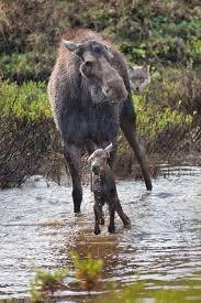 wolf pack kills moose calf patrick endres photography