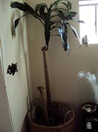 dracaena fragrans good to grow
