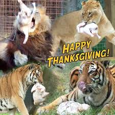 today at big cat rescue nov 28 2013 happy thanksgiving big cat