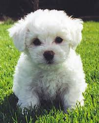 bichon frise whining does your bichon frise puppy cry at night bichon finder