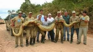 film ular phyton 5 foto ular terbesar di dunia yang pernah di temui