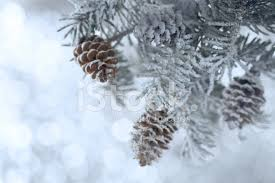 snowy christmas pictures snowy christmas tree branch with cones stock photos freeimages com