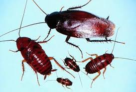 Baby Roaches In Bathroom Smokey Brown Roaches Smokybrown Cockroach Control And Information