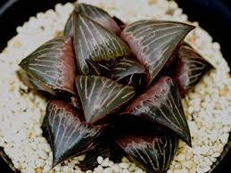 plats cuisin駸 多肉植物 ハオルチア バデア デーライト 親苗 haworthia