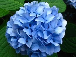 hydrangeas flowers identification help identify blue flowers that look like