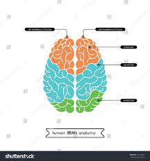 photos diagram of the human brain human anatomy diagram