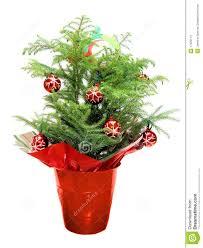 christmas norfolk pine stock photos image 17025113