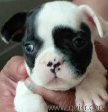 boxer dog quikr dog for sale in padmarao nagar hyderabad pets on hyderabad quikr