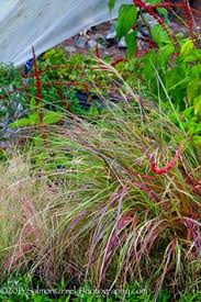 gold miscanthus grass drought tolerant late summer and