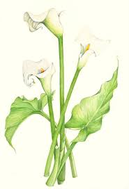 lily of the valley botanical drawing google search layni draw