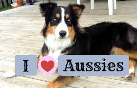 australian shepherd owners you know you u0027re an aussie owner when life with aspen youtube