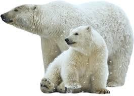 polar bear png transparent images png