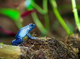 national aquarium blue poison dart frog