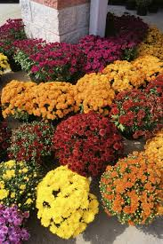 chrysanthemum fertilizer u2013 fertilize mums