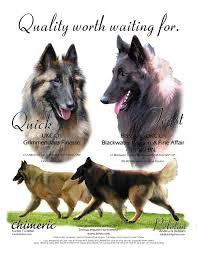 belgian sheepdog kennels welcome to tervs com home of the chimeric belgian tervuren