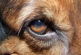 What Causes Dogs To Go Blind Curing A Dog Eye Infection With Home Remedies The Trupanion Blog