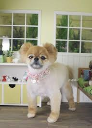 joypia yorkshire haircuts 100 best puppies japanese grooming images on pinterest dog